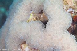 BD-121125-Aqaba-6725-Plerogyra-sinuosa-(Dana.-1846)-[Rounded-bubblegum-coral].jpg